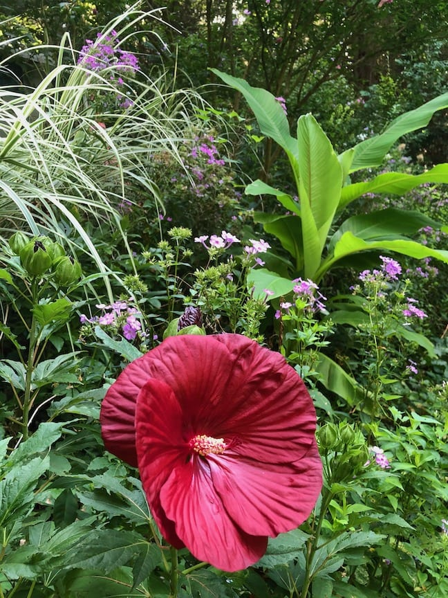 A large red hibiscus flower surrounded by greenery.