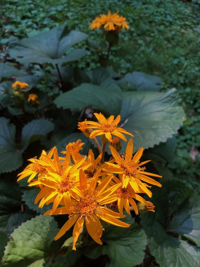 Orange flowers with thin, spiky-looking petals.