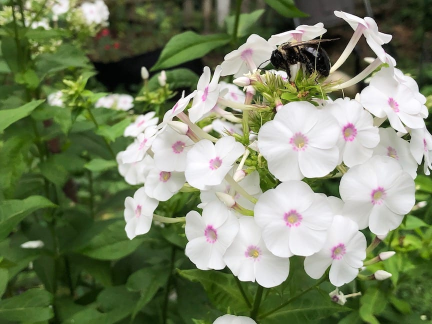 White Phlox flowers with a light pink center and green leaves.