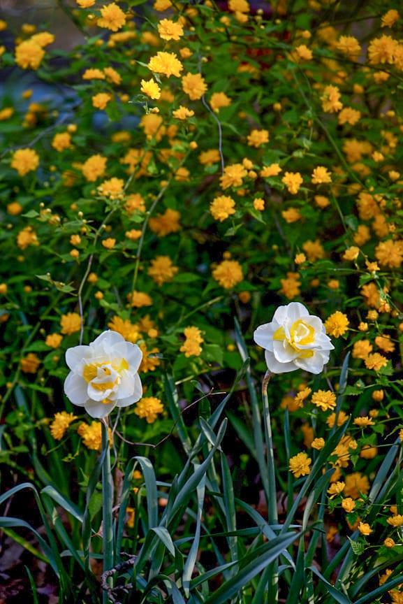 Yellow Daffodils kerria shrub