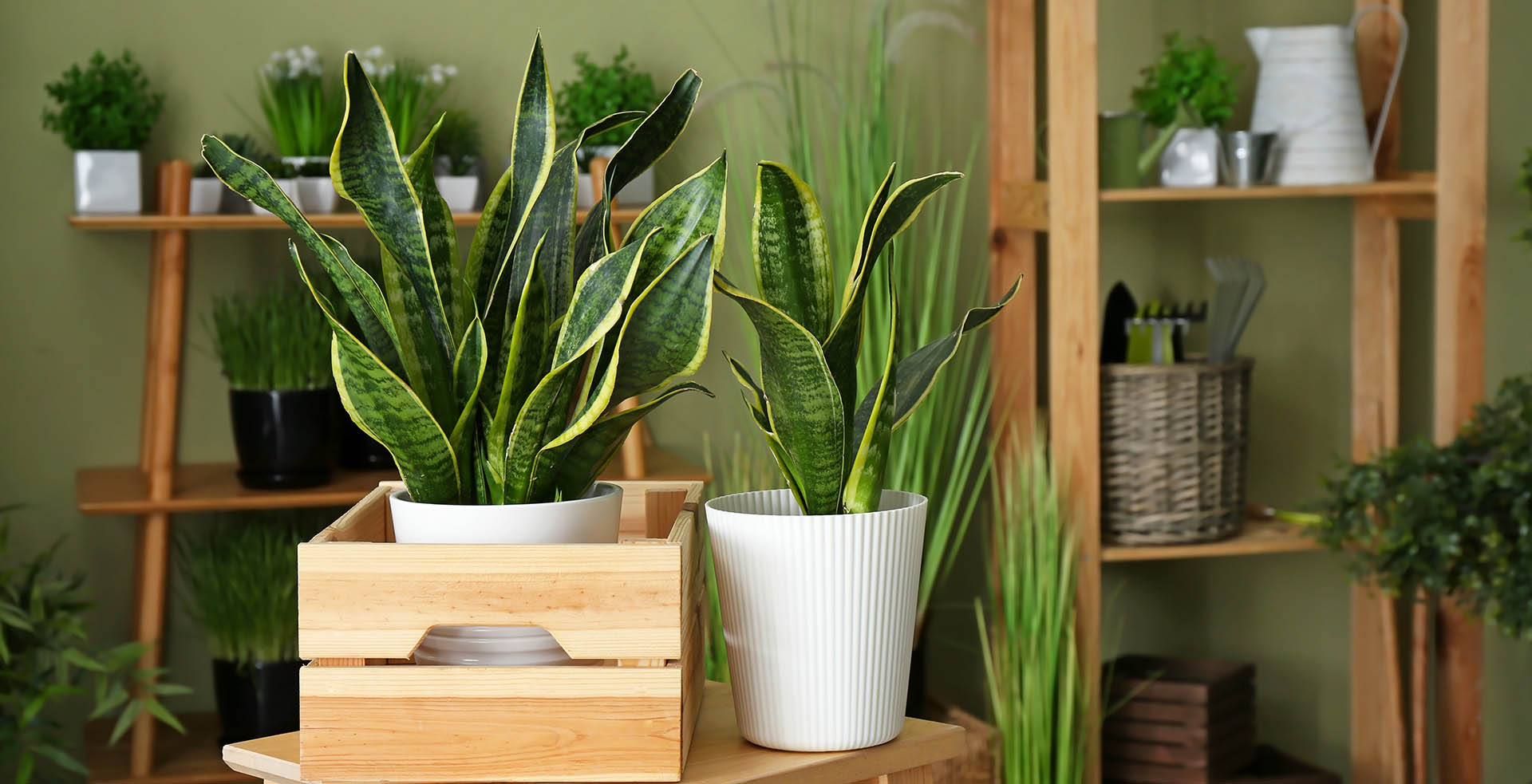 Two spider plants sit on a wooden table. Their long green leaves are surrounded by a yellow stripe and dark green speckles in the center. Behind them are wooden shelves filled with smaller, leafier houseplants.